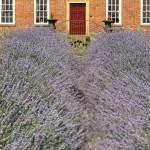 07 lavender path 2